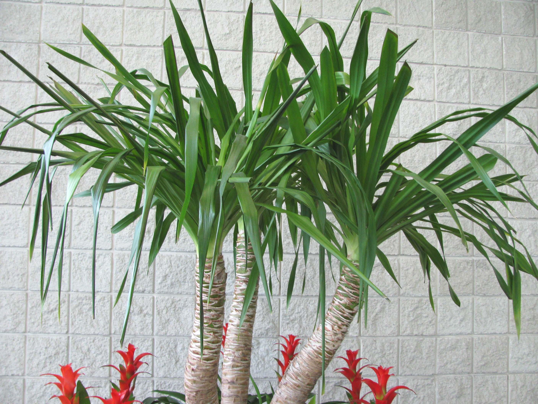 Yuccaaloifolia Indoor